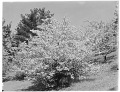 View [Miscellaneous Trees, Shrubs and Plants]: Pyrus toringoides, also known as Malus toringoides or cut-leaf crabapple. digital asset: [Miscellaneous Trees, Shrubs and Plants] [glass negative]: Pyrus toringoides, also known as Malus toringoides or cut-leaf crabapple.