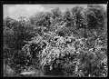View [Miscellaneous Trees, Shrubs and Plants]: Spiraea x vanhouttei, commonly called Vanhoutte spirea or bridalwreath. digital asset: [Miscellaneous Trees, Shrubs and Plants] [glass negative]: Spiraea x vanhouttei, commonly called Vanhoutte spirea or bridalwreath.