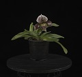 View Paphiopedilum Cayuse digital asset: Photographed by: Creekside Digital