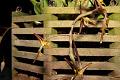 View Gongora pleiochroma digital asset: Photographed by: Gene Cross