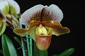 View Paphiopedilum Papyrus 'Model' digital asset: Photographed by: Eugene Cross