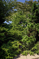 View Chamaecyparis obtusa 'Rashamiba' digital asset: Photographed by: Hannele Lahti