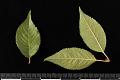 View Prunus subhirtella 'Autumnalis' digital asset: Photographed by: Hannele Lahti