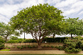 View Lagerstroemia indica 'Natchez' digital asset: Photographed by: Hannele Lahti