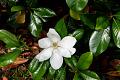 View Magnolia grandiflora digital asset: Photographed by: Elizabeth Miller