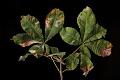 View Aesculus hippocastanum digital asset: Photographed by: Hannele Lahti