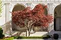 View Acer palmatum 'Burgundy Lace' digital asset: Photographed by: Hannele Lahti