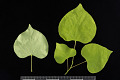 View Cercis canadensis 'Hearts of Gold' digital asset: Photographed by: Hannele Lahti
