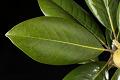 View Magnolia grandiflora digital asset: Photographed by: Hannele Lahti