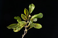 View Magnolia stellata digital asset: Photographed by: Hannele Lahti