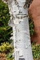 View Betula papyrifera digital asset: Photographed by: Hannele Lahti