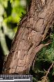 View Juniperus virginiana digital asset: Photographed by: Hannele Lahti