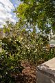 View Magnolia sp. digital asset: Photographed by: Hannele Lahti
