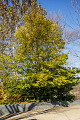 View Carpinus caroliniana digital asset: Photographed by: Hannele Lahti
