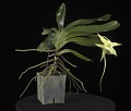 View Angraecum sesquipedale digital asset: Photographed by: Creekside Digital