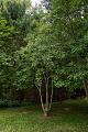 View Magnolia virginiana digital asset: Photographed by: Hannele Lahti