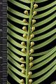 View Cephalotaxus harringtonia digital asset: Photographed by: Hannele Lahti
