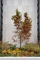 View Taxodium distichum 'Mickelson' Shawnee Brave digital asset: Photographed by: Hannele Lahti