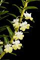 View Dendrobium uniflorum digital asset: Photographed by: Hannele Lahti