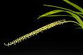 View Liparis viridiflora digital asset: Photographed by: Hannele Lahti