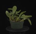 View Bulbophyllum purpureorhachis digital asset: Photographed by: Creekside Digital