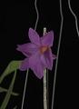 View Dendrobium glomeratum digital asset: Photographed by: Creekside Digital