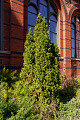 View Thuja occidentalis 'Degroot's Spire' digital asset: Photographed by: Hannele Lahti