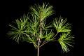 View Pinus densiflora 'Umbraculifera' digital asset: Photographed by: Hannele Lahti
