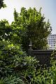 View Chionanthus retusus 'Tokyo Tower' digital asset: Photographed by: Hannele Lahti