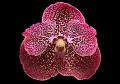 View Vanda Kru Chom 'Red Butterfly' digital asset: Photographed by: Julie Rotramel