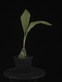 View Lycaste Abou First Spring 'Will' digital asset: Photographed by: Creekside Digital