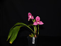 View Lycaste Abou First Spring 'Will' digital asset: Photographed by: Gene Cross