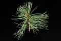 View Pinus koraiensis 'Nana' digital asset: Photographed by: Hannele Lahti