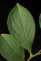 View Stewartia pseudocamellia digital asset: Photographed by: Hannele Lahti