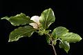 View Stewartia serrata digital asset: Photographed by: Hannele Lahti