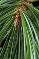 View Pinus koraiensis 'Morris Blue' digital asset: Photographed by: Hannele Lahti