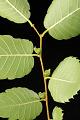 View Zelkova serrata 'Green Vase' digital asset: Photographed by: Hannele Lahti