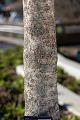 View Chionanthus virginicus 'CV1049' SERENITY digital asset: Photographed by: Hannele Lahti