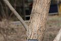 View Salix nigra digital asset: Photographed by: Hannele Lahti