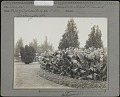 View Department of Agriculture: Cannas, variety Mrs. Alfred F. Conard digital asset: Department Of Agriculture [photoprint]
