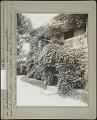 View Van Cortlandt Manor: Ampelopsis quinquefolia (Virginia creeper) digital asset: Van Cortlandt Manor [photoprint]