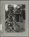 View Breeze Hill: Rustic garden arbor; Roses (Ghislaine de Feligonde). digital asset: Breeze Hill [photoprint]: Rustic garden arbor; Roses (Ghislaine de Feligonde).