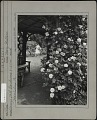 View [Breeze Hill]: Woman gathering flowers, seen through rose (Mary Wallace) arbor vista. digital asset: [Breeze Hill] [photographic print]: Woman gathering flowers, seen through rose (Mary Wallace) arbor vista.