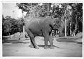 "View Folder 5 Indian Elephant. ""Ambika,"" 1959-1964 digital asset: Indian Elephant, ""Ambika,"" 1959-1964"