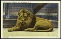 View Blank Postcard of a Lion at the Zoo digital asset number 0