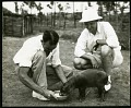 View Smithsonian-Firestone Expedition to Liberia, 1940. Includes newspaper articles. digital asset: Ralph Norris, Keeper at the National Zoological Park, with baby pygmy hippo, 1940 [Image No. SIA2013-06638]