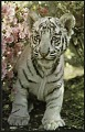 View Postcard of White Tiger Cub digital asset number 0