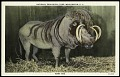 View Postcard of a Wart Hog digital asset number 0