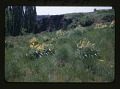 View Pronghorn Antelope; Oklahoma National Wildlife Refuge; Washington State Blue Mountains Vegetation, 1947-1954 digital asset: Example of nearly natural vegetation, by Helmut K. Buechner, June 5, 1953. [Image no. SIA2014-00012]