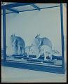 View Mammals Exhibits, Natural History Building - Kangaroo Group digital asset number 0